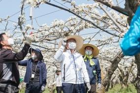 오세현 시장, '일손부족' 허덕이는 배 재배농가 인공수분 일손 보태